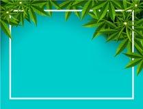 Planta de marijuana e cannabis em fundos azuis fotografia de stock royalty free