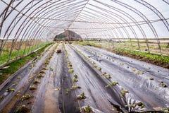 Planta de Mashua transplantada recentemente em uma exploração agrícola da casa verde Fotos de Stock Royalty Free