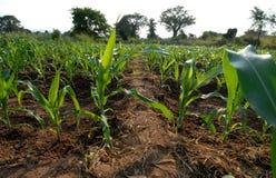 Planta de milho Imagem de Stock Royalty Free