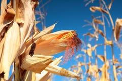 Planta de milho madura dourada Imagem de Stock Royalty Free