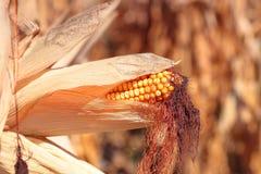Planta de milho madura dourada Imagens de Stock Royalty Free