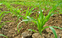 Planta de milho na exploração agrícola de Tailândia Fotografia de Stock