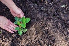 Planta de morango à terra imagens de stock