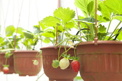 Planta de morango Foto de Stock Royalty Free