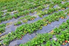 Planta de morango Fotografia de Stock Royalty Free
