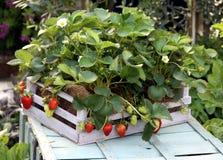 Planta de morango Fotos de Stock Royalty Free