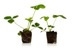 Planta de morango Imagens de Stock