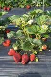 Planta de morango Fotografia de Stock