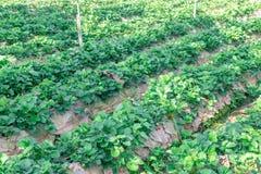 Planta de morango Imagem de Stock
