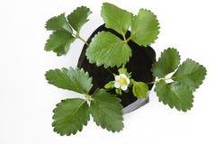 Planta de morango com as flores no branco Imagens de Stock