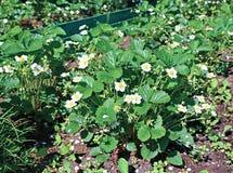 Planta de morango de florescência no gardenbed Imagens de Stock