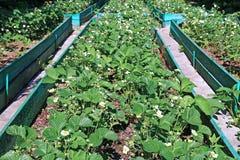 Planta de morango de florescência no gardenbed Fotografia de Stock
