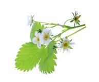 Planta de morango isolada no fundo branco Fotografia de Stock Royalty Free