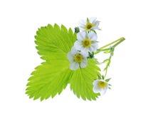 Planta de morango isolada no fundo branco Imagem de Stock