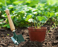 Planta de morango no potenciômetro Imagens de Stock