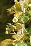 Planta de morango nova Fotografia de Stock