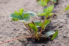 Planta de morango nova plantada no solo Imagens de Stock Royalty Free