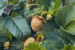 Planta de morango verde crescente com fruto Fotos de Stock Royalty Free