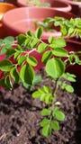 Planta de Moringa Fotografia de Stock Royalty Free