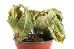 Planta de muerte en crisol plástico Foto de archivo libre de regalías