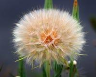 Planta de Mulesear que vai semear Fotografia de Stock Royalty Free