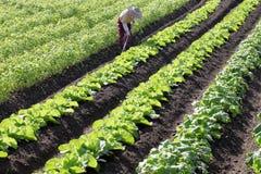 Planta de nabo em um campo de exploração agrícola Imagens de Stock