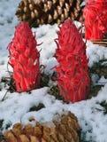 Planta de nieve Foto de archivo