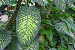 planta de nieve tropical de Seguine del Dieffenbachia exótico grande con el pulso del modelo verde claro fotos de archivo libres de regalías