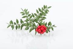 Planta de Noel Imagen de archivo