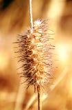 Planta de oro Fotos de archivo