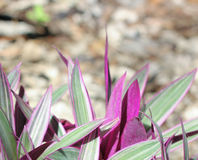 Planta de ostra (spathacea 'enano' del Tradescantia) Imagen de archivo
