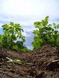 Planta de patata Foto de archivo libre de regalías