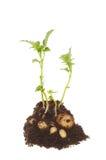 Planta de patata Imágenes de archivo libres de regalías
