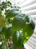 Planta de patata Foto de archivo