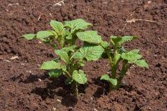 Planta de patata joven que crece en el huerto Foto de archivo libre de regalías
