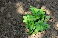 Planta de patata joven sana en jardín orgánico Fotografía de archivo libre de regalías