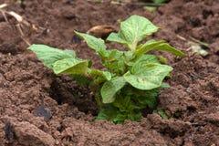 Planta de patata que crece en el huerto Foto de archivo