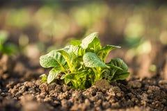 Planta de patata que crece en suelo Imágenes de archivo libres de regalías