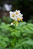 Planta de patata verde Hoja de la verdura Imagen de archivo libre de regalías