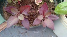 Planta de Periquito Foto de archivo