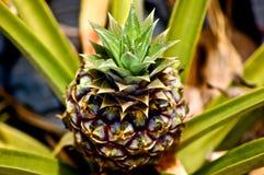 Planta de piña con la fruta Foto de archivo libre de regalías