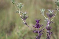 Planta de piña púrpura Foto de archivo libre de regalías