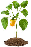 Planta de pimenta doce Fotografia de Stock