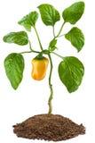 Planta de pimienta dulce Fotografía de archivo