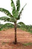 Planta de plátano Imagen de archivo libre de regalías
