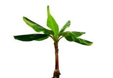 Planta de plátano de Musa Fotos de archivo libres de regalías