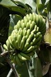 Planta de plátano y fruta en una plantación, La Palma, islas Canarias, España Fotografía de archivo