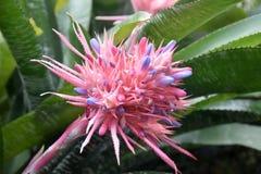 Planta de plata del florero que florece el fasciata de Aechmea Fotografía de archivo libre de regalías