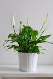 Planta de potenciômetro Fotografia de Stock