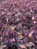 Planta de Purple Heart Foto de archivo libre de regalías